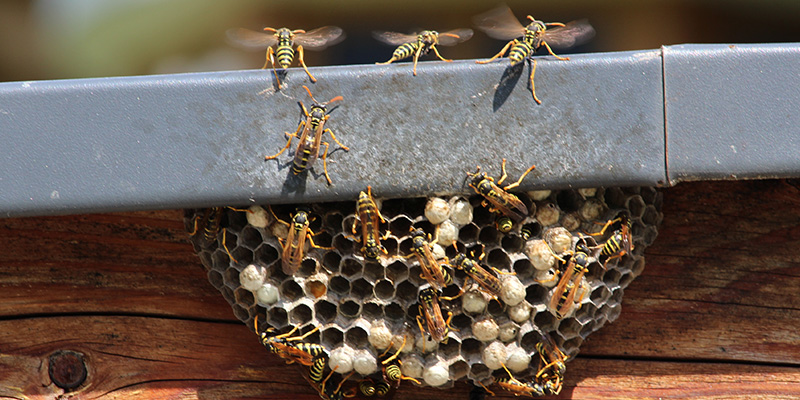 Reduce the Hazard of Getting Stung with Bee and Wasp Removal