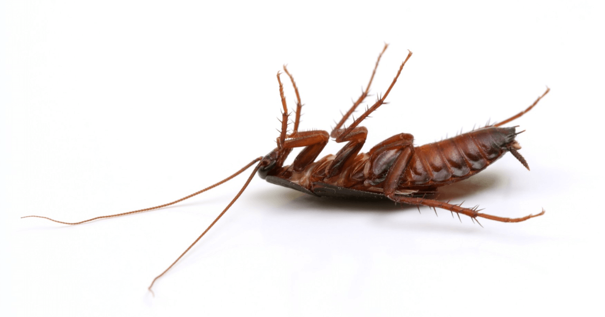 The Effects Of Roach Infestation | How To Resolve It
