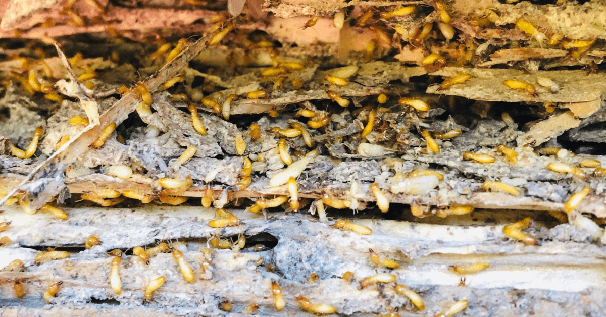Winter Termite Control Orlando Needs | Are They Active?