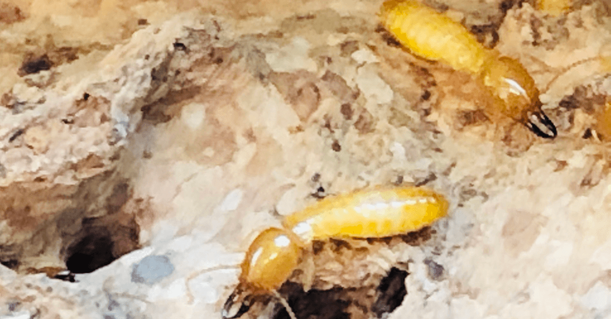 Have You Been Swarmed by Termites? You Need Termite Control Now!